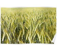Spring green cereal plants Poster