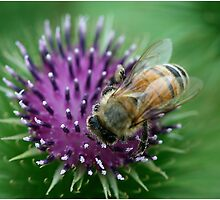 Thistle and Bee by Deborah  Benoit