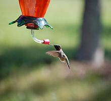 Humming Bird by Elizabeth  Cortez