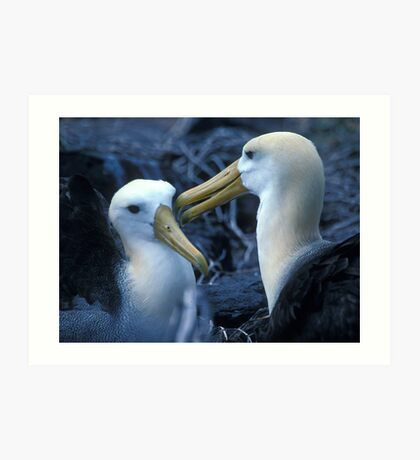Albatros Pair on Galapagos Art Print