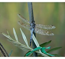 Blue Skimmer At Rest Photographic Print