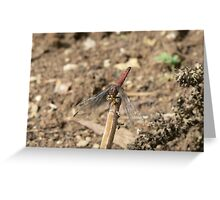 Red Skimmer Greeting Card