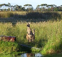 Kangaroos by GuavaBeans