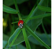 Miss Ladybug     ( Ladybug Series ) Photographic Print