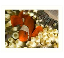Clown Fish in Anemone Art Print