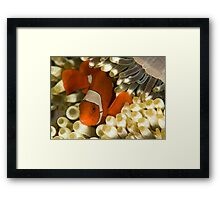 Clown Fish in Anemone Framed Print