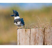 Kingfisher Pose Photographic Print