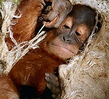 Baby Orangutan at Play by Dennis Stewart