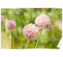 Pink chives flowering plant Poster