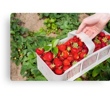 Plenty ripe strawberries Canvas Print