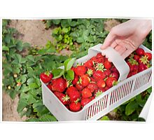 Plenty ripe strawberries Poster