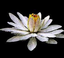 Floating Lily by Jo Ann Hawley