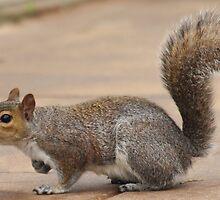 Grey Squirrel Profile by Franco De Luca Calce