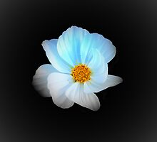 White and Blue Flower by terrebo