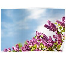 Lilac pink inflorescences Poster