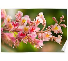 red chestnut tree blossoms Poster