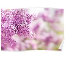 Lilac vibrant pink inflorescence Poster