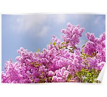 Lilac vibrant pink bunches Poster