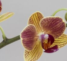 A stem of orchids Sticker