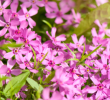 Phlox subulata pink flowering Sticker