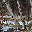 Winter Birches by Anne Smyth