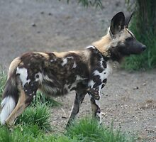 African Hunting Dog by Jay Spadaro