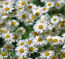 Daisies by Mary Canning