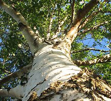 Worms eye view of Mighty Silver Birch by Karen Doidge
