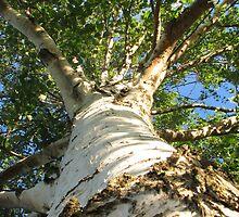 Worms eye view of Mighty Silver Birch by Karen Doidge