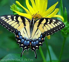 Eastern Tiger Swallowtail - Tim DeVore by wildliferescue