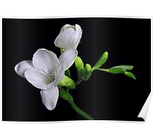 White Freesias Poster