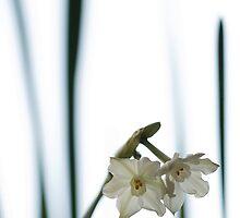 shy whiteness by narabia