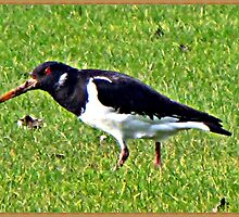 And  further along the River bank, we saw this Oyster Catcher in a field on the other bank by Malcolm Chant