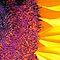 Sunflower - Your Best Capture