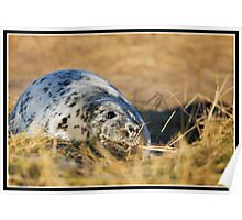 Grey seal pup at Donna Nook Poster