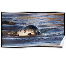 Grey seal pup making waves Poster