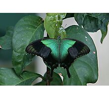 Green Swallowtail Butterfly Photographic Print