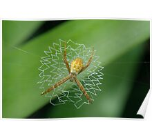 Juvenile St Andrew's Cross Spider Poster