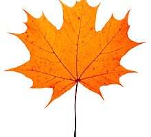 autumn maple-leaf by Sergieiev