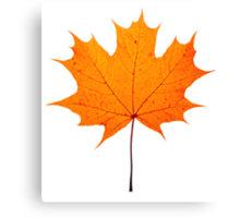 autumn maple-leaf Canvas Print