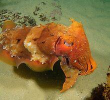 Giant Cuttlefish - Sepia apama by Andrew Trevor-Jones