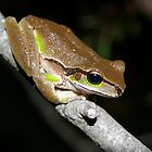 Litoria citropa Blue Mountains Tree Frog by Brett Darby