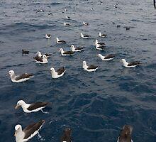 Albatross portraits - David Burren by David Burren