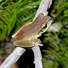 Blue Mountains Tree Frog   Litoria citropa by Brett Darby
