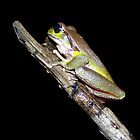 Blue Mountains Tree Frog  by Brett Darby