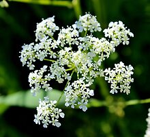 Poison Hemlock by Kathleen Daley