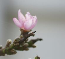 First signs of spring; La Mirada, CA USA by leih2008