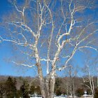 American Sycamore - Platanus occidentalis by MotherNature2