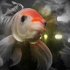 Closeup of a Goldfish by terrebo