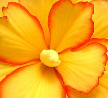 Begonia the Beguine by mooksool